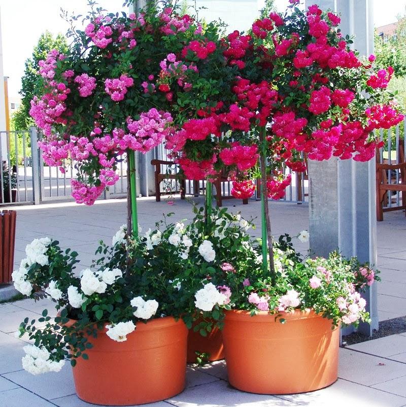 Cultivar rosales en la terraza guia de jardin - Jardines en la terraza ...