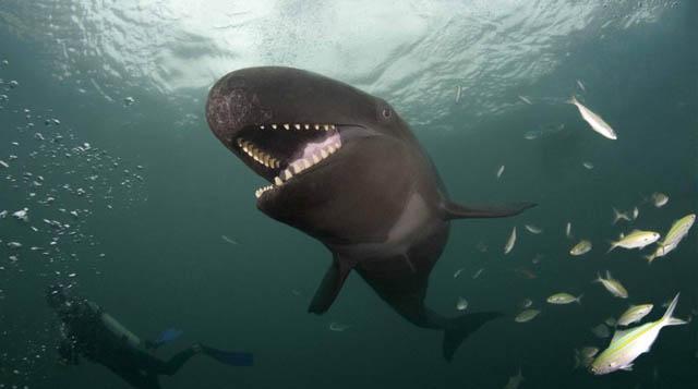 La falsa sonrisa de la ballena asesina