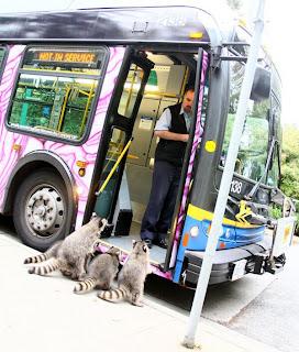 Waschbären vor dem Bus