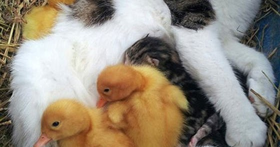 how to look after ducklings