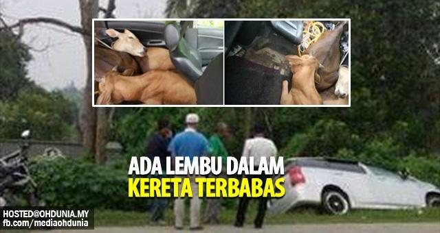 Penduduk kampung terkejut temui Lembu dalam kereta yang terbabas