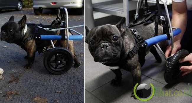 Billy, anjing bulldog berkaki roda