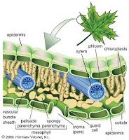 Jaringan Parenkim pada Tumbuhan, Fungsi, Ciri, dan Gambar Lengkap