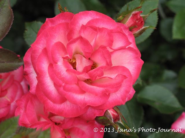 A Miniature Pink Rose