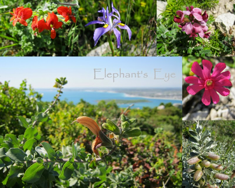 Elephant's Eye: Postberg and Darling for spring flowers