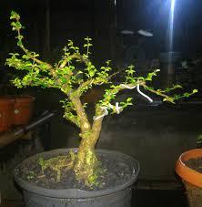 Jual Pohon Mirten | Bonsai Mirten Tanaman Hias