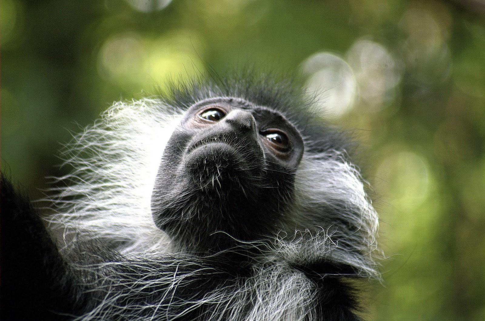 http://1.bp.blogspot.com/-DoLVqGg61ME/TqwHMXJoOXI/AAAAAAAADl8/p_41PPCXl_A/s1600/Monkey-beatiful-wallpaper.jpg
