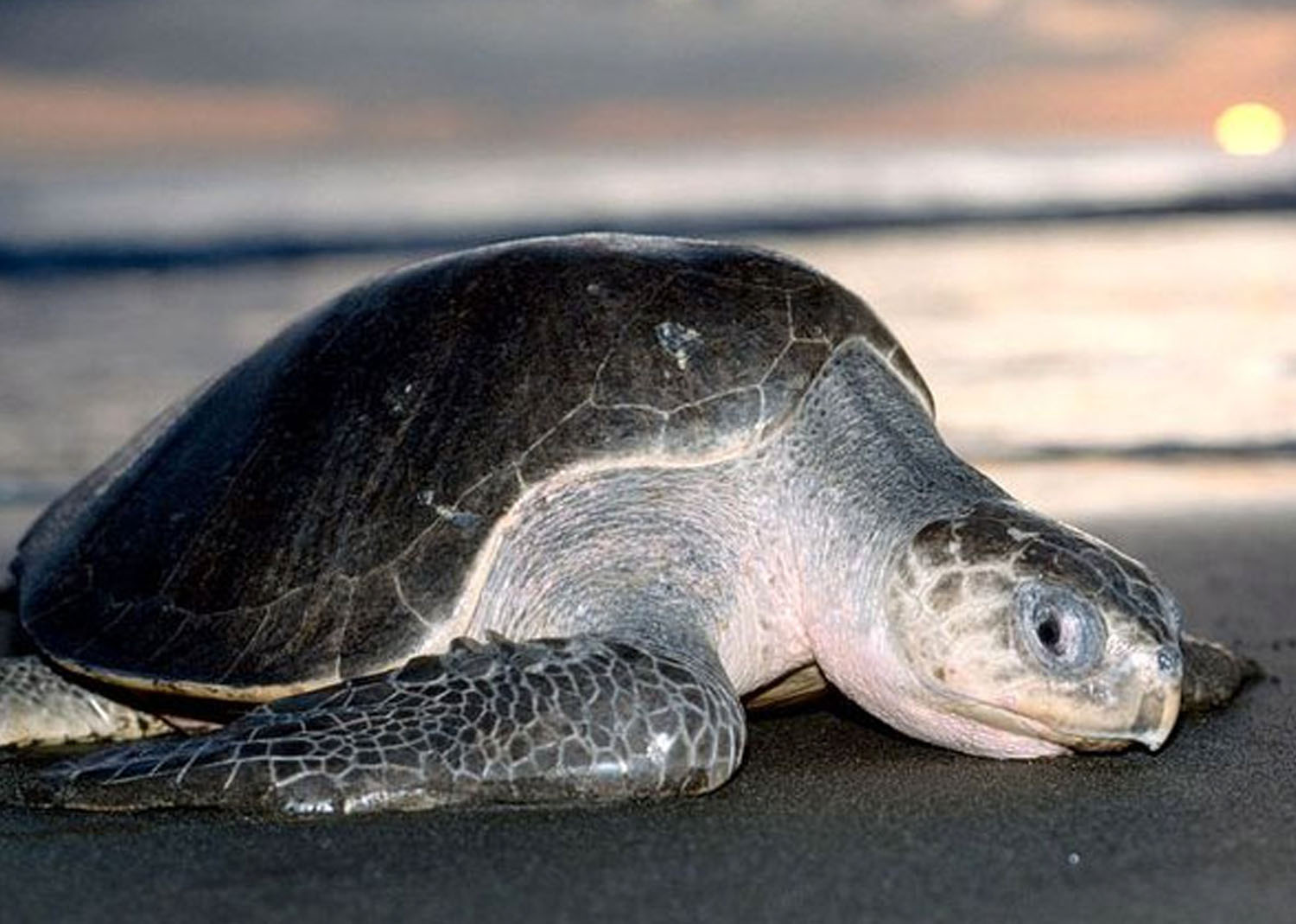 The Olive Ridley's Ecosystem Benefits