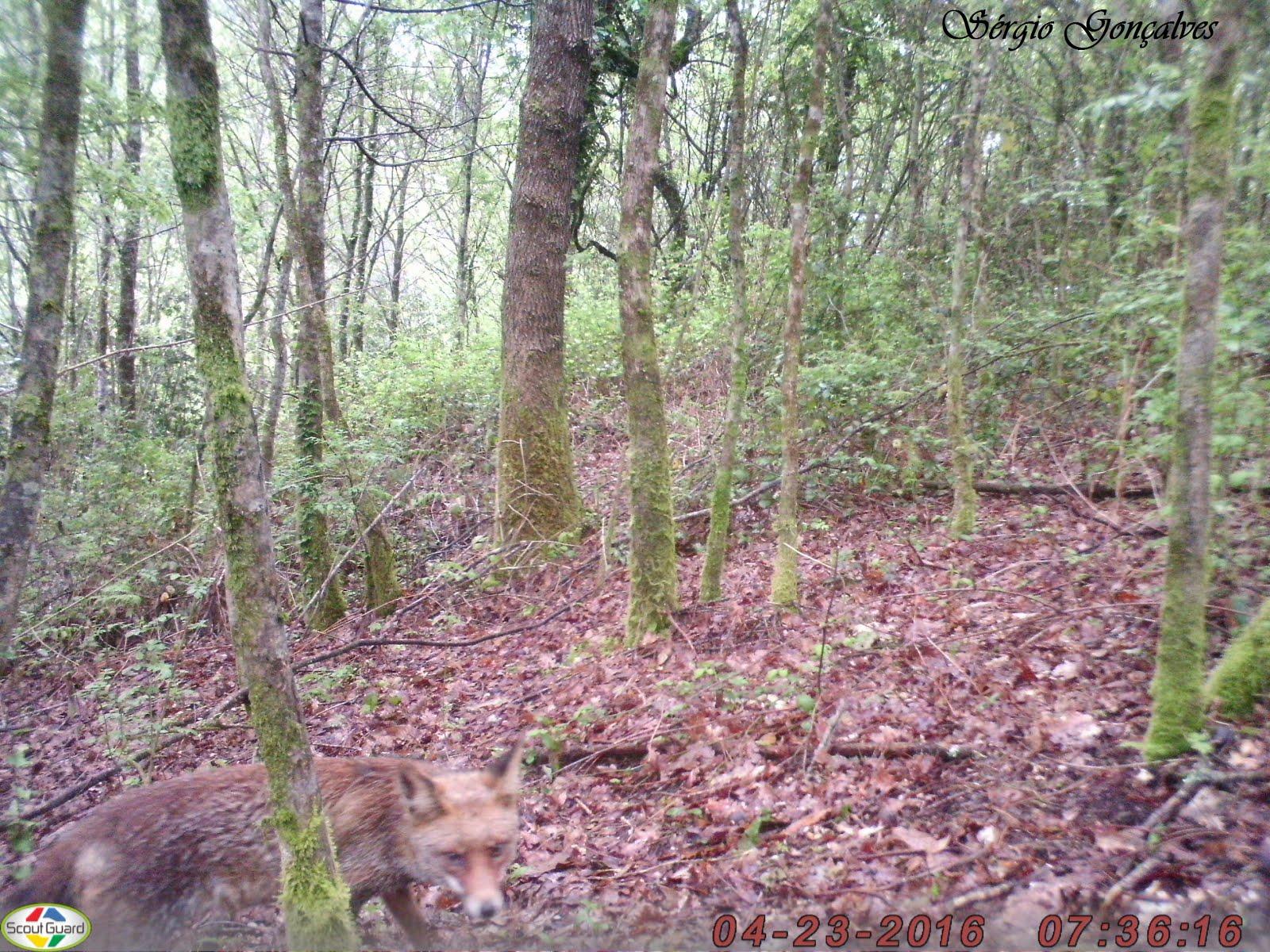 As raposas Vulpes vulpes