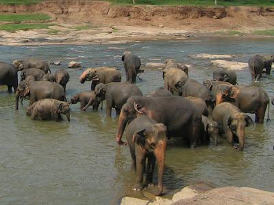 herd of elephants bathing in river