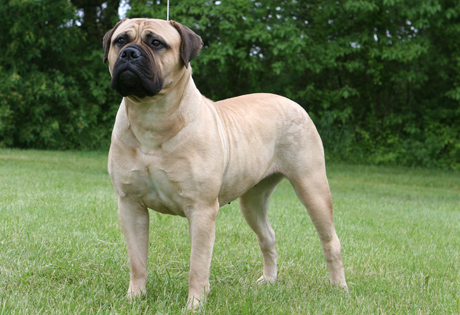 American Bull Mastiff Reviews and Pictures ~ Dogs 360 All Reviews