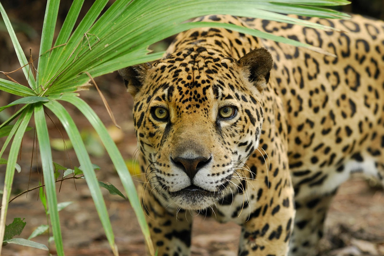 the cheyenne project 5 interesting facts about jaguars. Black Bedroom Furniture Sets. Home Design Ideas