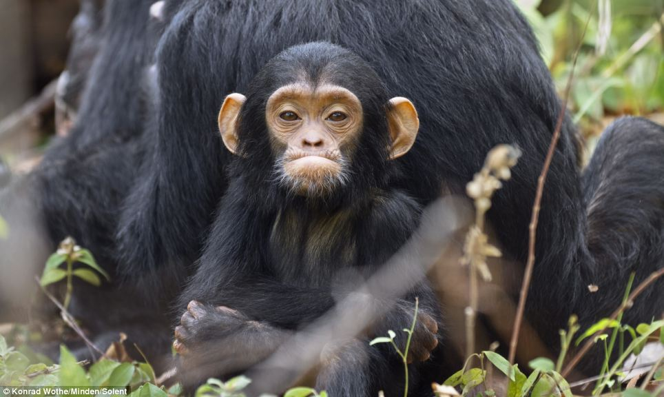 Baby chimp's first steps (5 pics) | Amazing Creatures