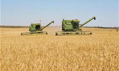 محصول القمح المحلي يسجل ارتفاع بنحو 284 ألف طن حتى الأن