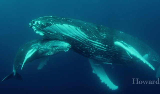 Leviathan: Up close and personal with a pod of majestic whales (Video)