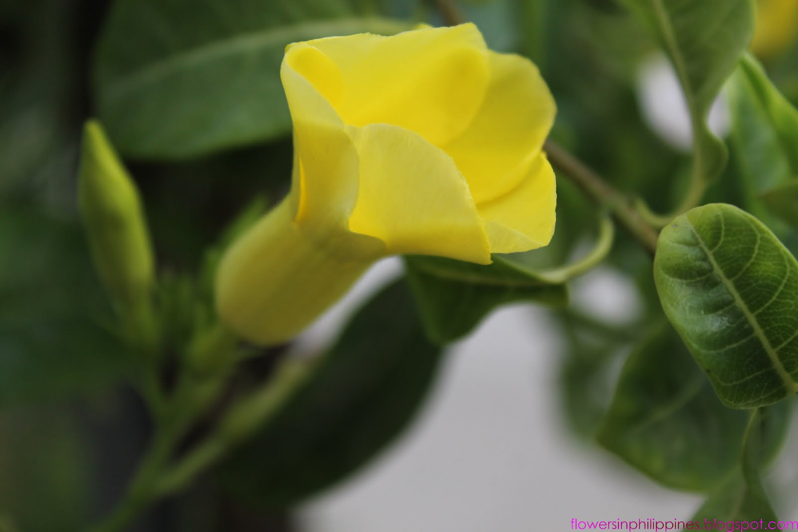 Flowers In The Philippines Allamanda As Yellow Bell Golden Trumpet