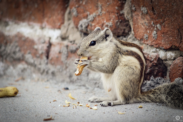 Keep Calm & Let Me Eat, Shashank Mittal Photography, Shashank Mittal,  Shashank Photography, shashank, Squirrel, asia, india