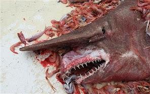 Un tiburón prehistórico que se creía extinto fue encontrado en el golfo de México.