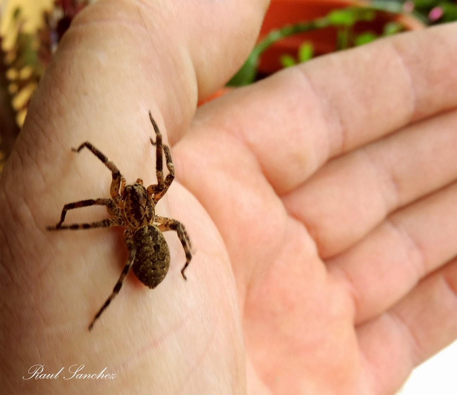Araña común
