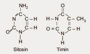 Penjelasan dna rna sintesis protein dan kode genetika materi sma rumus bangun purin ccuart Image collections