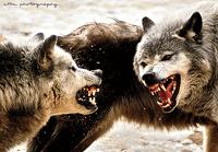 communicatiestijlen: wolventaal