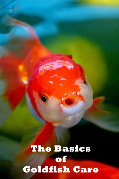 All About Women S Things The Basics Of Goldfish Care