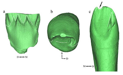 Middle Pleistocene teeth add new data to hominin evolution in Asia