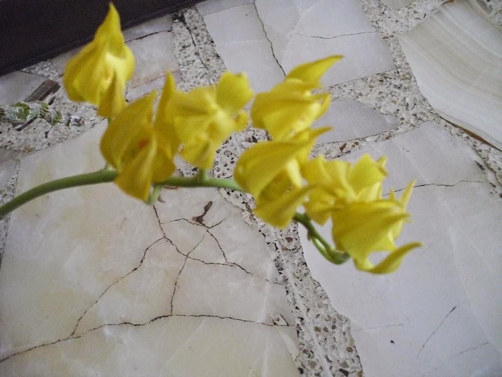 Mormodes maculata variedad unicolor orquideas de mavipol for Ta 2s 0138