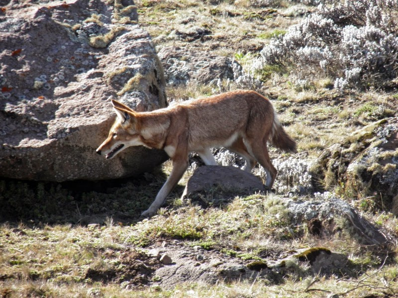 Ethiopian Wolf on the Sanetti Plateau