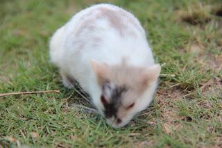Mozaic Hamster, Rare Hamster