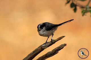 Aves Anilladas Mito