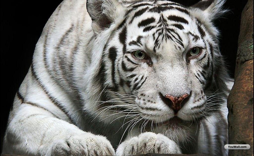 white tiger wallpapers beautiful tiger desktop