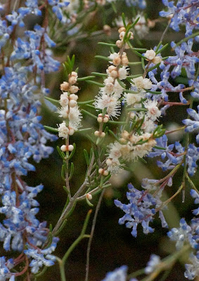 White Myrtle (Hypocalymma angustifolium) and Blue Smokebush (Conospermum amoenum)