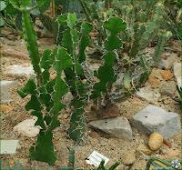 http://plantsgallery.blogspot.com/2014/02/euphorbia-grandicornis-wilczomlecz.html