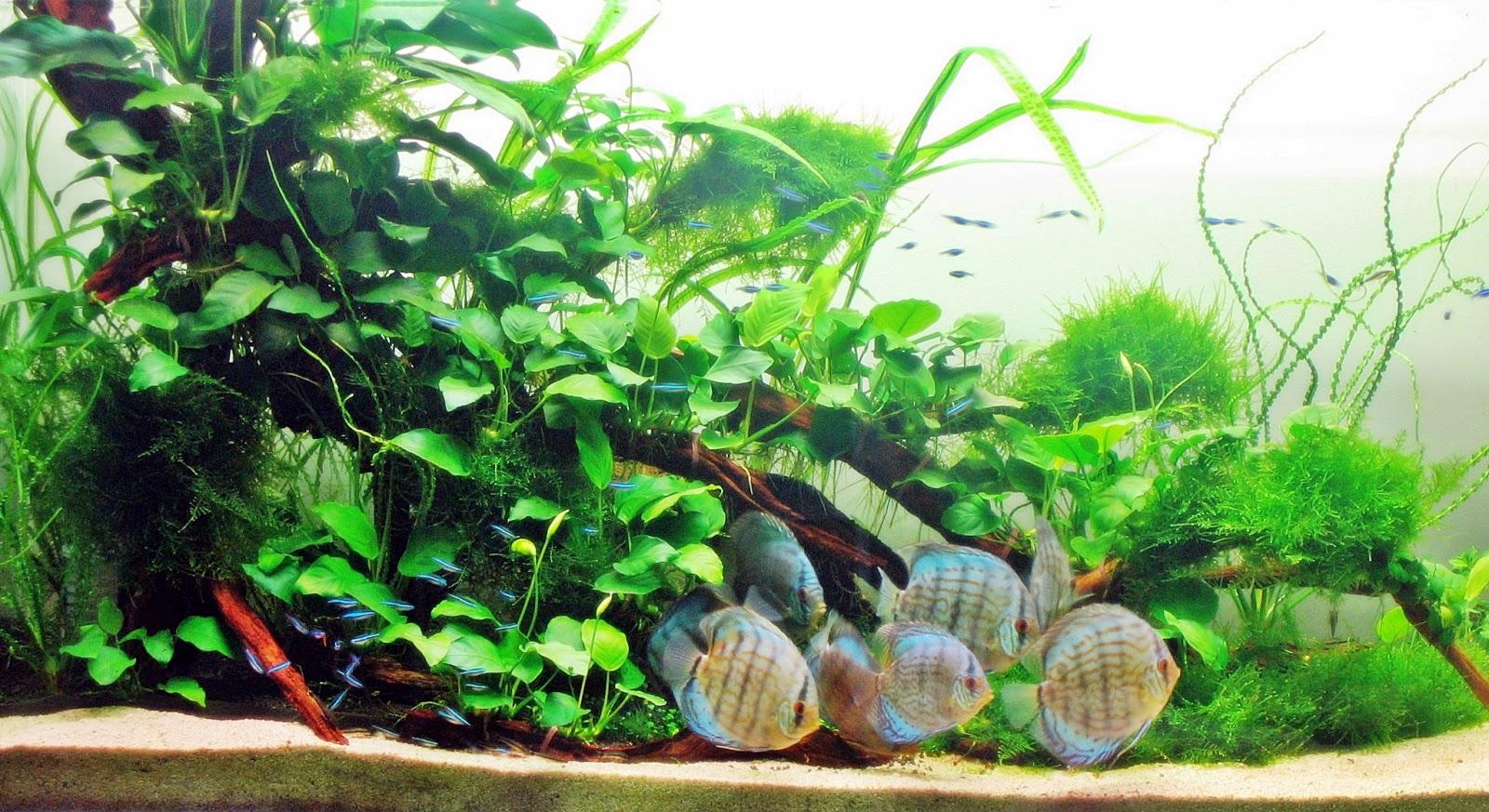 Memelihara ikan discus dalam aquascape - Akuarium Ikan Hias