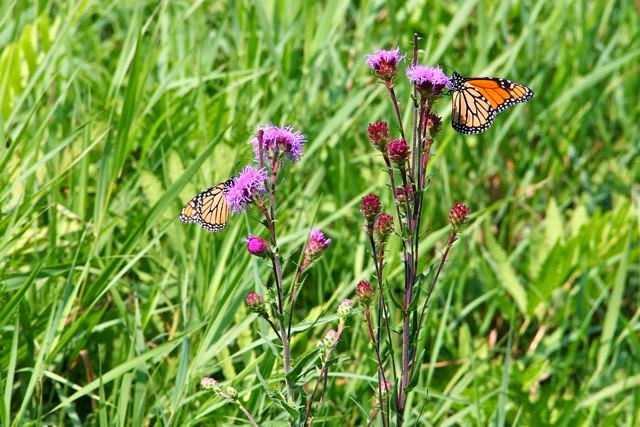 monarch butterflies on Northern Plains Blazing-star
