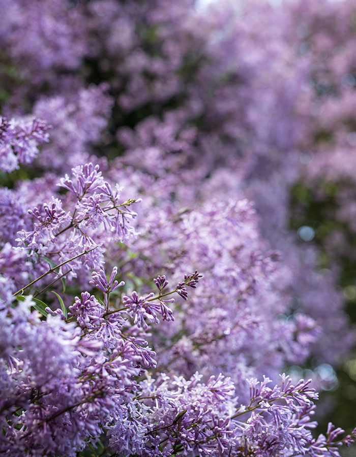 lilacs photo by Kreetta Järvenpää www.gretchengretchen.com
