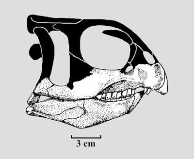 Chaoyangsaurus skull