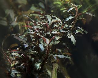 Картинки по запросу bucephalandra sp. kedagang