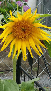 Sunflower Volunteer | Navigating Hectivity by Micki Bare