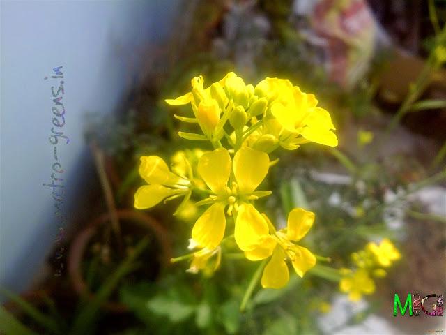 Metro Greens: Mustard Blooms