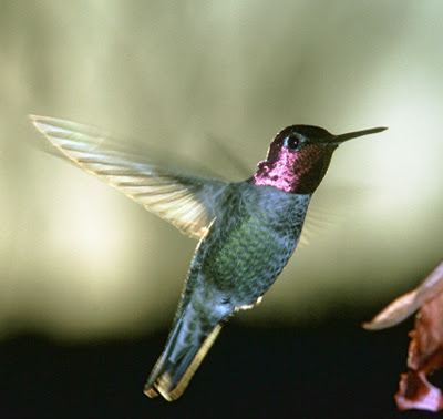 Birds Pictures - Hummingbird