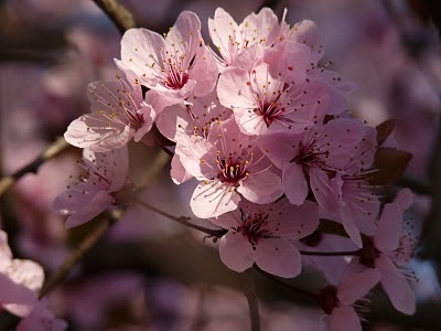 Beautiful flower, Sakura