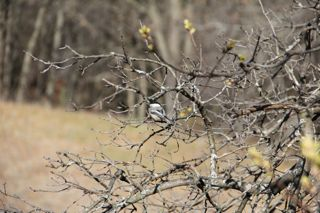 photo of chickadee in budding oak
