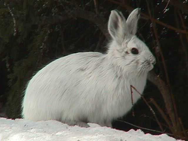 Snowshoe rabbit cute animal facts amp pictures animals lover