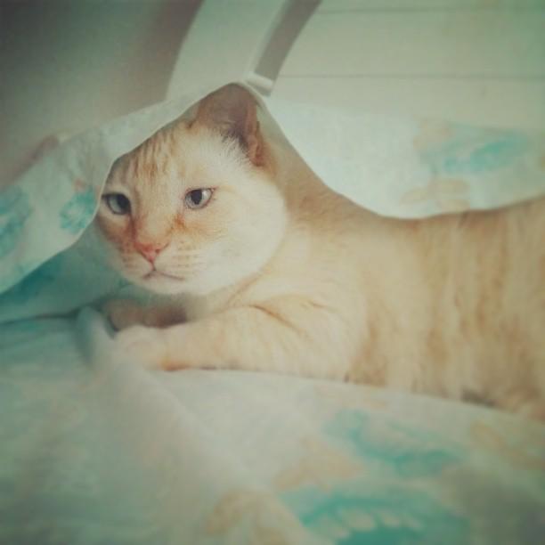 gato sábanas limpias