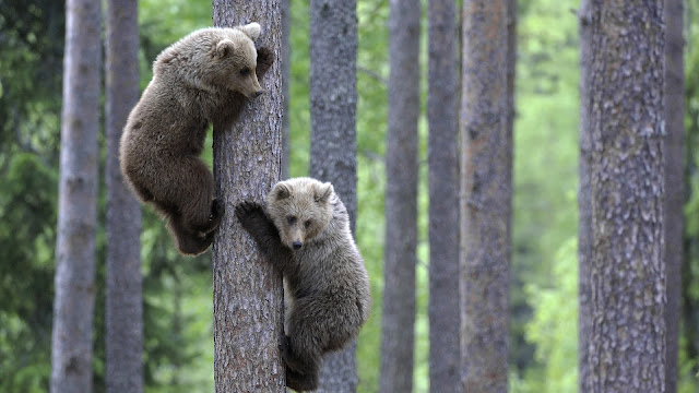 tree climbing young bears wallpaper
