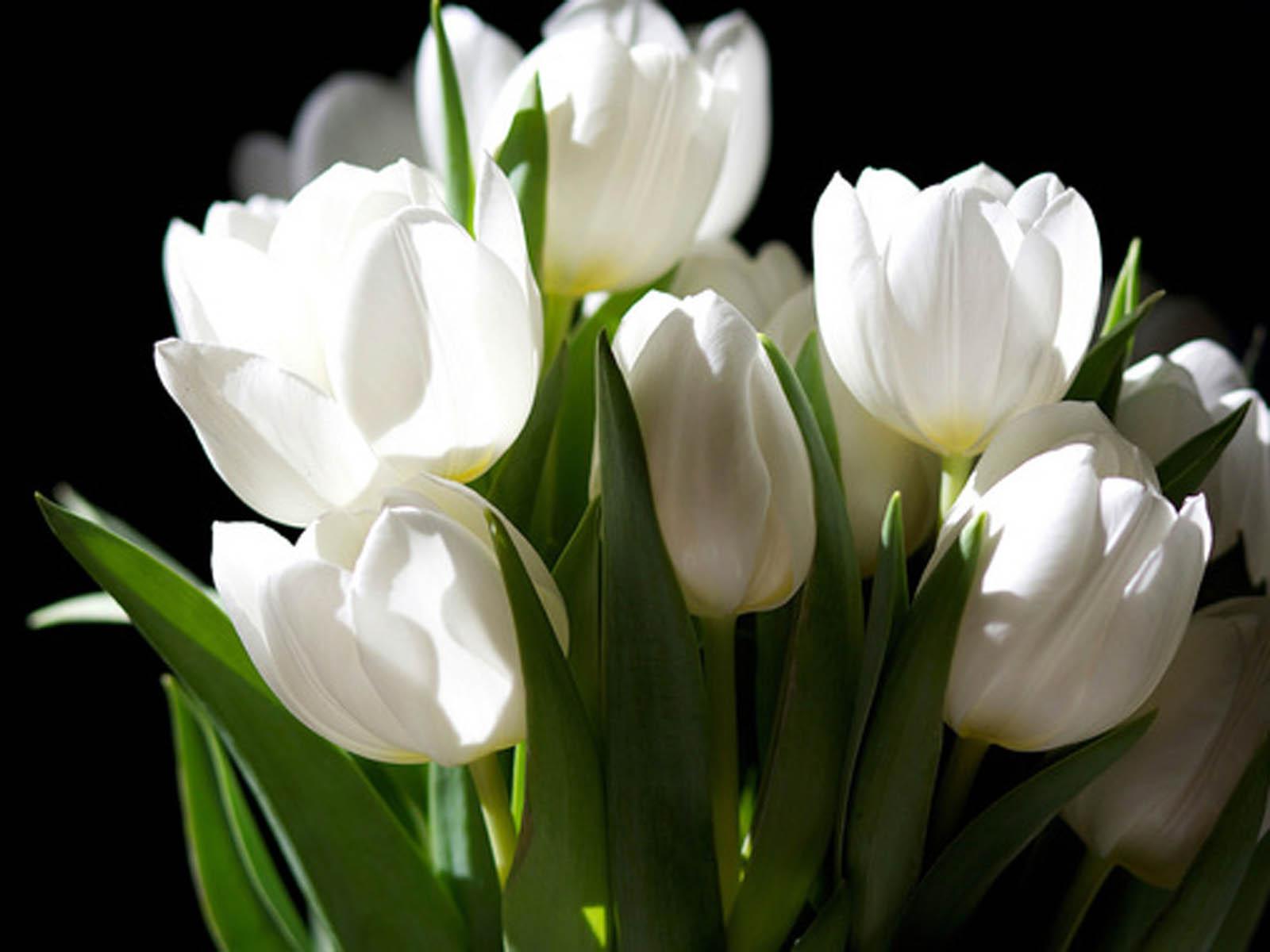 Images Of White Tulip Flower Wallpaper Spacehero