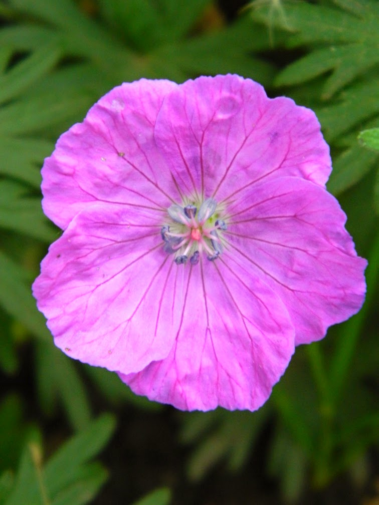 Geranium sanguineum Bloody cranesbill by garden muses-not another Toronto gardening blog