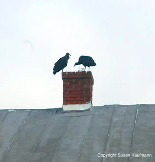 Black vultures Mt Holly NJ